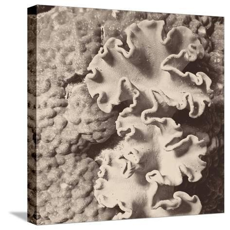Sepia Barrier Reef Coral IV-Kathy Mansfield-Stretched Canvas Print