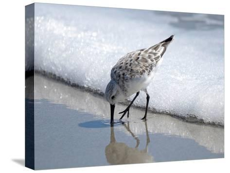 Sandpiper I-Bruce Nawrocke-Stretched Canvas Print