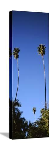 Palm Trees, Sinaloa, Baja California-Barry Herman-Stretched Canvas Print