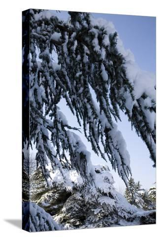 Evergreen Trees Covered in Snow-Benedict Luxmoore-Stretched Canvas Print