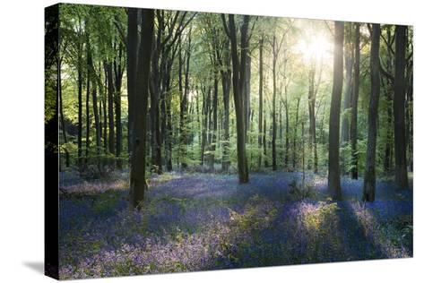 Sunlight Through Trees in Bluebell Woods, Micheldever, Hampshire, England-David Clapp-Stretched Canvas Print