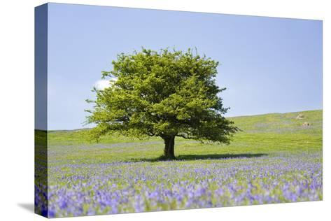 Lone Tree and Mauve Spring Wildflowers at Holwell Lawn, Dartmoor, Devon England-David Clapp-Stretched Canvas Print