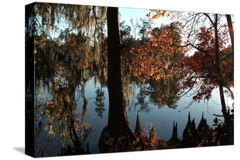 Cypress (Taxodium) Trees and 'Knees' in Autumn, Sam Houston Jones State Park, Louisiana-Natalie Tepper-Stretched Canvas Print