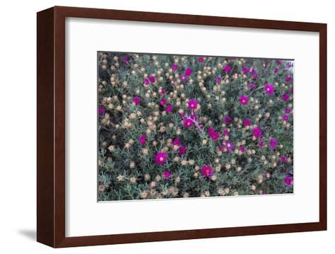 Garden Flowers,Ice Plant-Henri Silberman-Framed Art Print