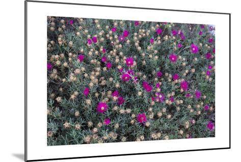 Garden Flowers,Ice Plant-Henri Silberman-Mounted Photographic Print