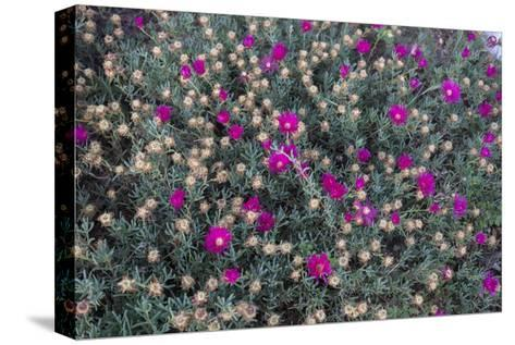 Garden Flowers,Ice Plant-Henri Silberman-Stretched Canvas Print