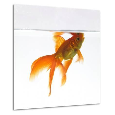 Goldfish Swimming Just Below the Surface of the Water-Mark Mawson-Metal Print