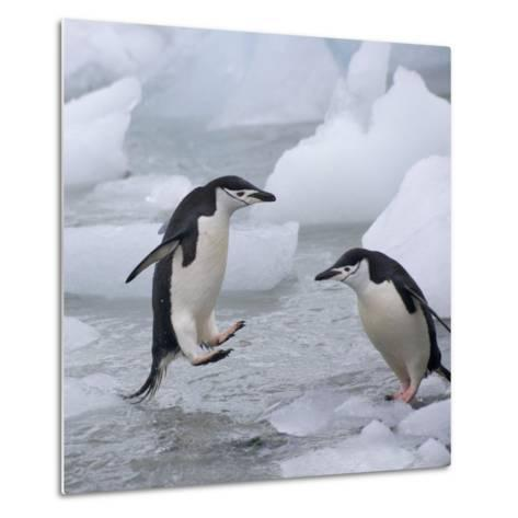 Chinstrap Penguins on ice, South Orkney Islands, Antarctica-Keren Su-Metal Print