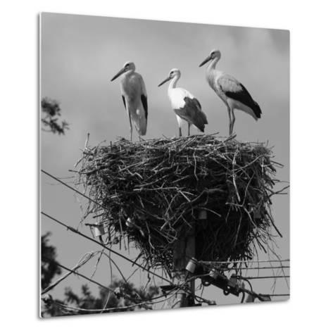Three Young Storks Standing on their Nest-Keenpress-Metal Print