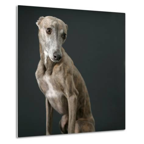 Whippet-Parque-Metal Print