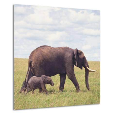 African Elephant Calf with Mother in Savanna--Metal Print