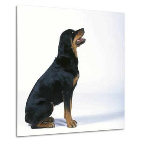 Rottweiler--Metal Print