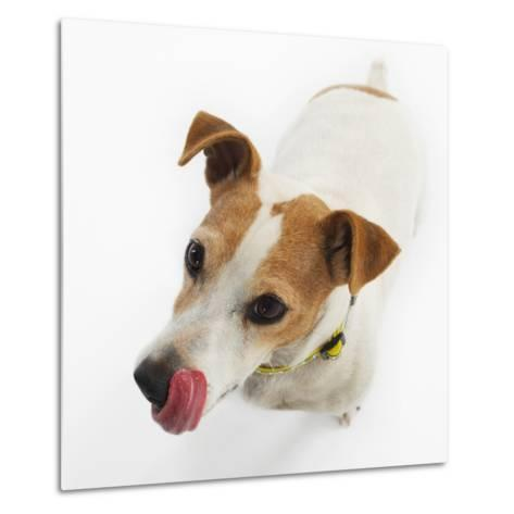 Jack Russell Terrier-Russell Glenister-Metal Print