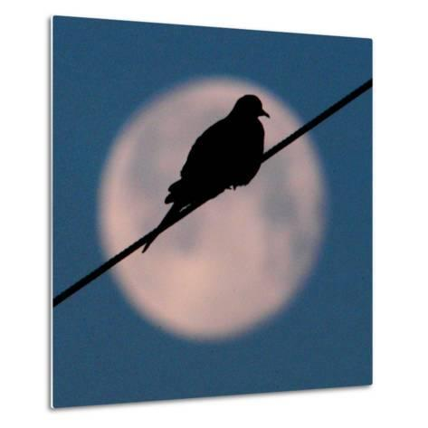 A Mourning Dove Sits Atop a Utility Wire as the Full Moon Sets Over Grand Isle--Metal Print