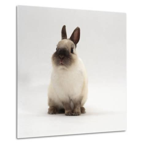 Seal-Point Netherland Dwarf Male Rabbit-Jane Burton-Metal Print