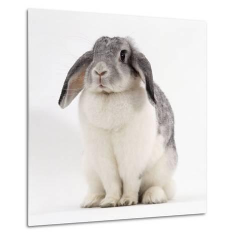 Female Silver and White French Lop-Eared Rabbit-Jane Burton-Metal Print