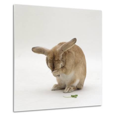 Female Sandy Lop-Eared Rabbit Grooming, Washing Her Face-Jane Burton-Metal Print