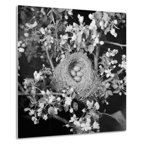View of Robins Nest with Four Eggs-Bettmann-Metal Print