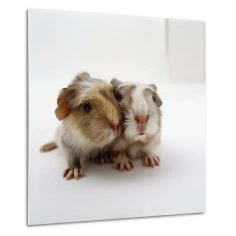 Two Baby Crested Guinea Pigs, One-Day-Jane Burton-Metal Print