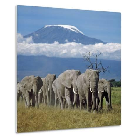 A Herd of Elephants with Mount Kilimanjaro in the Background-Nigel Pavitt-Metal Print