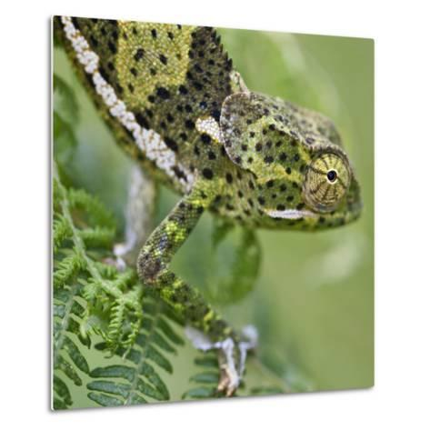 A Female Two-Horned Chameleon in the Amani Nature Reserve-Nigel Pavitt-Metal Print