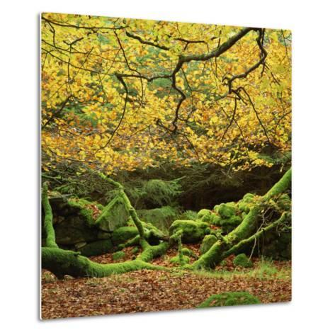 Beech Trees and Fall Foliage, with Lichen on Fallen Branches-Roy Rainford-Metal Print