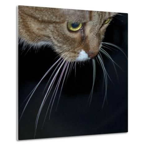 Close Up of a Pet Cat's Face and Whiskers-Amy & Al White & Petteway-Metal Print