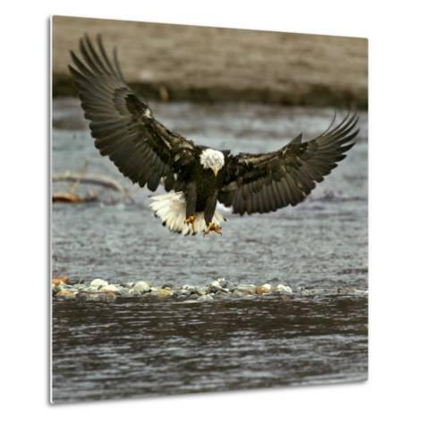 A Bald Eagle Swoops Down for a Landing While Looking for Fish--Metal Print