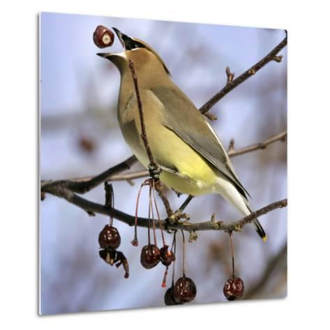 A Cedar Waxwing Tosses up a Fruit from a Flowering Crab Tree, Freeport, Maine, January 23, 2007-Robert F. Bukaty-Metal Print