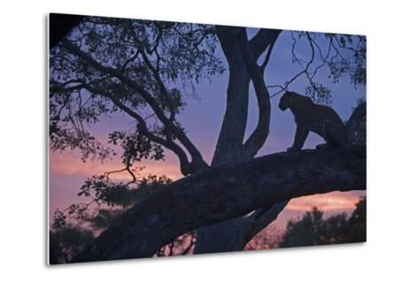 Leopard in a Tree Top Perch at Dusk, Mombo, Okavango Delta, Botswana-Beverly Joubert-Metal Print