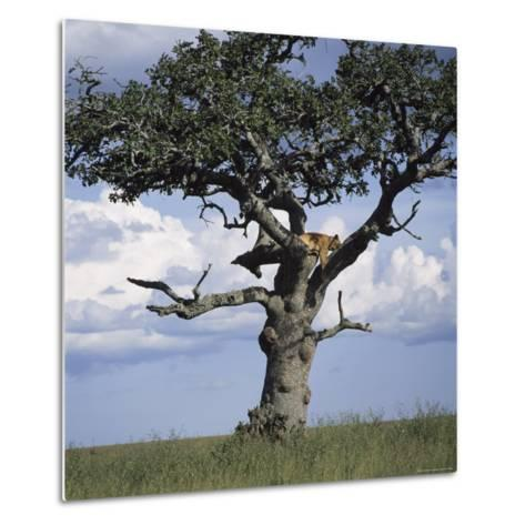 Lion Sleeps in the High Branches of a Tree-David Pluth-Metal Print