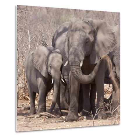 Mother and Baby Elephant Preparing for a Dust Bath, Chobe National Park, Botswana-Wendy Kaveney-Metal Print
