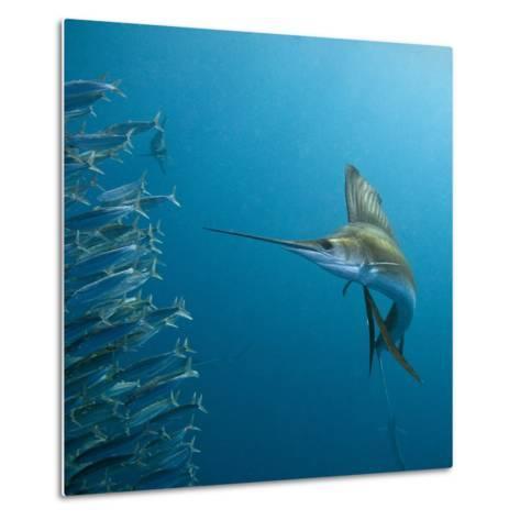 Sailfish feeding on Brazilian sardines-Stuart Westmorland-Metal Print