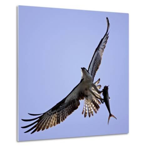 Osprey Carries Fish in Talons as it Flies over the Players Championship Golf Tournament in Florida--Metal Print