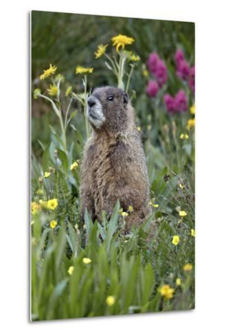 Yellow-Bellied Marmot Among Wildflowers, San Juan Nat'l Forest, Colorado, USA-James Hager-Metal Print