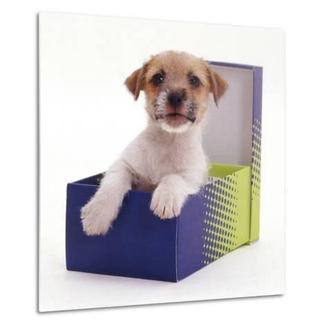 Jack in a Box - Jack Russell Terrier Pup in a Shoe Box-Jane Burton-Metal Print
