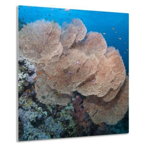 Close-Up of Giant Sea Fan Coral, Ras Mohammed Nat'l Pk, Off Sharm El Sheikh, Egypt-Mark Doherty-Metal Print