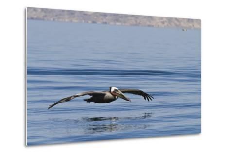 Adult Brown Pelican (Pelecanus Occidentalis), Gulf of California, Baja California, Mexico-Michael Nolan-Metal Print