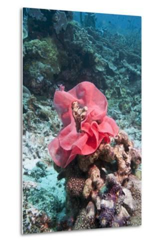 Nudibranch Eggs, Komodo, Indonesia, Southeast Asia, Asia-Lisa Collins-Metal Print