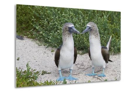 Blue-Footed Booby (Sula Nebouxii) Pair, North Seymour Island, Galapagos Islands, Ecuador-Michael Nolan-Metal Print
