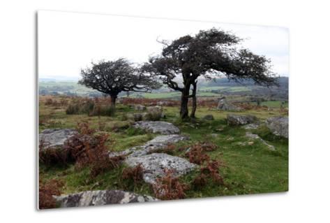 Two Windswept Trees, Near Hexworthy, Dartmoor, Devon, England, United Kingdom, Europe-David Lomax-Metal Print