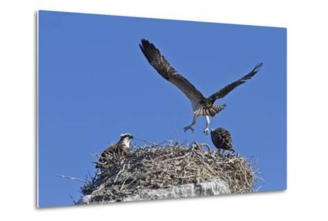 Osprey (Pandion Haliaetus) Chick Practising Flight, Gulf of California Baja California Sur, Mexico-Michael Nolan-Metal Print