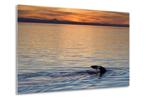 Sperm Whale (Physeter Macrocephalus) at Sunset, Isla San Pedro Martir, Gulf of California, Mexico-Michael Nolan-Metal Print