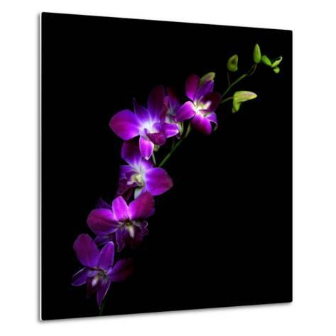 Purple Dendrobium Orchids-Magda Indigo-Metal Print