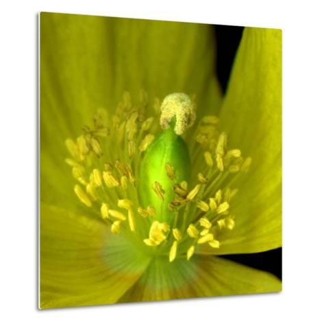 Poppy Yellow-Magda Indigo-Metal Print