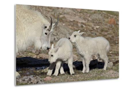 Mountain Goat Nanny and Kids, Mt Evans, Arapaho-Roosevelt Nat'l Forest, Colorado, USA-James Hager-Metal Print