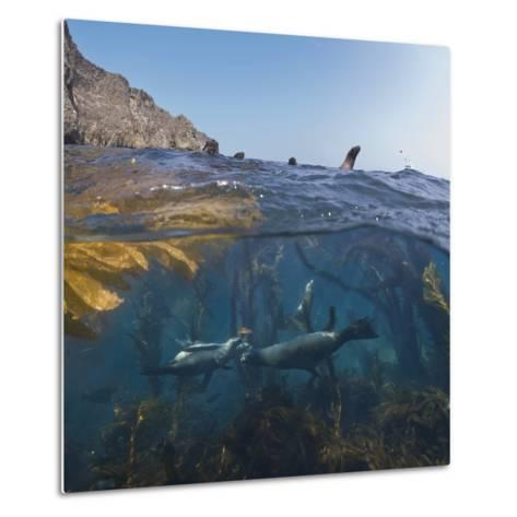 Underwater Photo of Kelp and Sea Lions, Anacapa, Channel Islands National Park, California, USA-Antonio Busiello-Metal Print