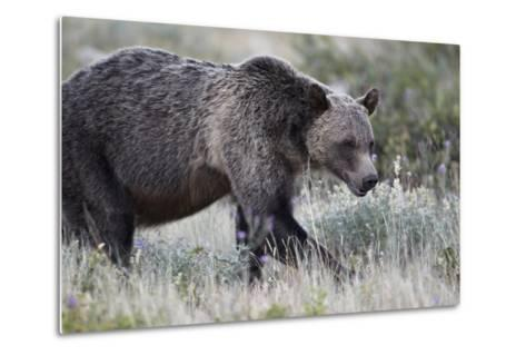 Grizzly Bear (Ursus Arctos Horribilis), Glacier National Park, Montana, United States of America-James Hager-Metal Print