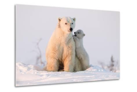 Polar Bear (Ursus Maritimus) and Cub, Wapusk National Park, Churchill, Hudson Bay, Manitoba, Canada-David Jenkins-Metal Print