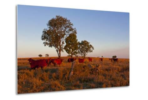 Cattle in the Late Afternoon Light, Carnarvon Gorge, Queensland, Australia, Pacific-Michael Runkel-Metal Print